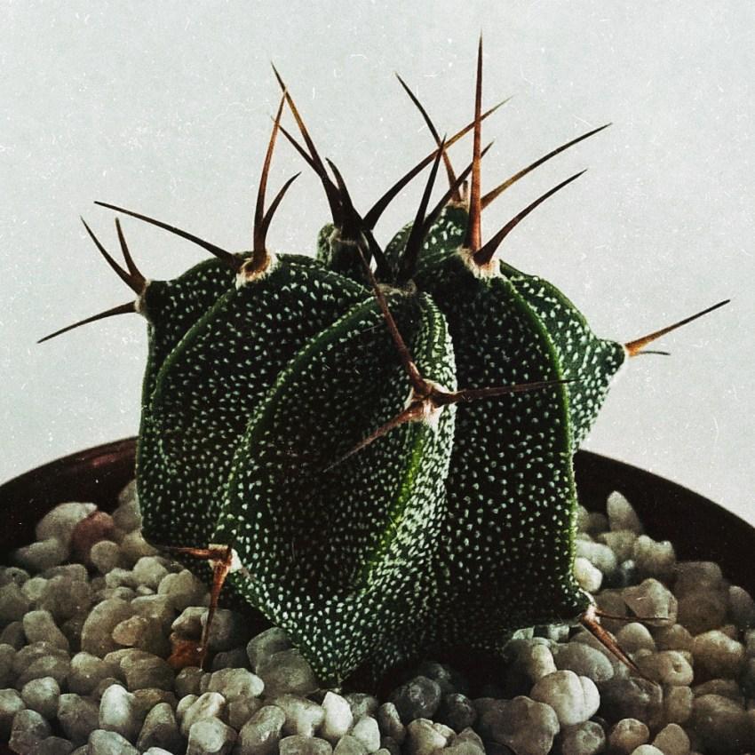 Астрофитумы из семян
