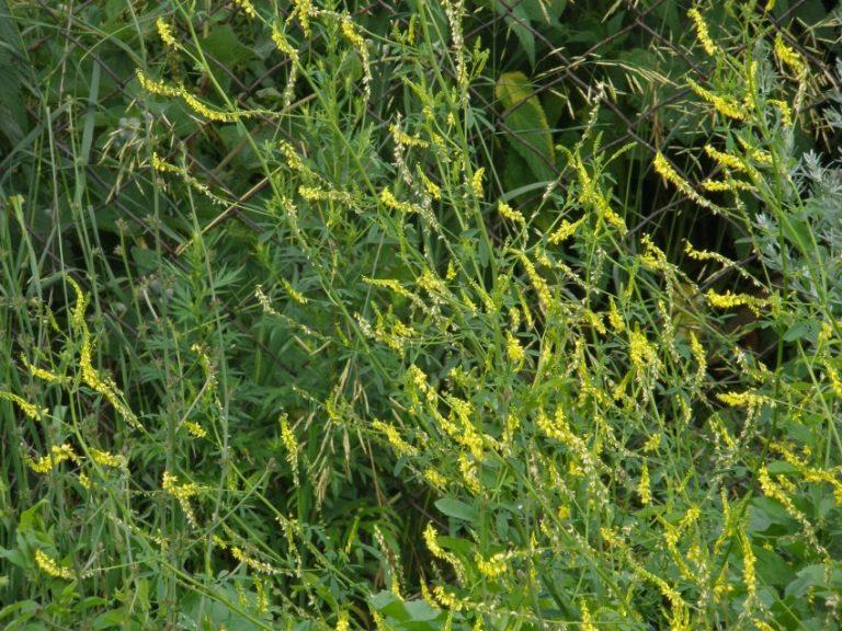 трава буркун в картинках предварительным