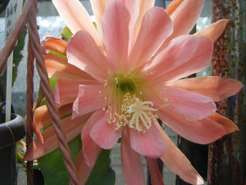 лесной кактус фото свойства гранитных