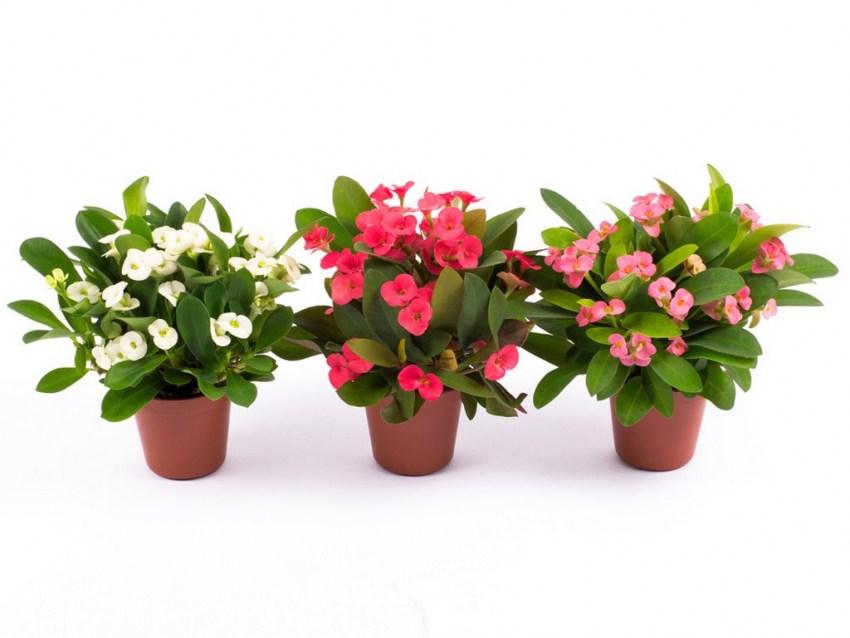 цветок эуфорбия фото или дикий лук