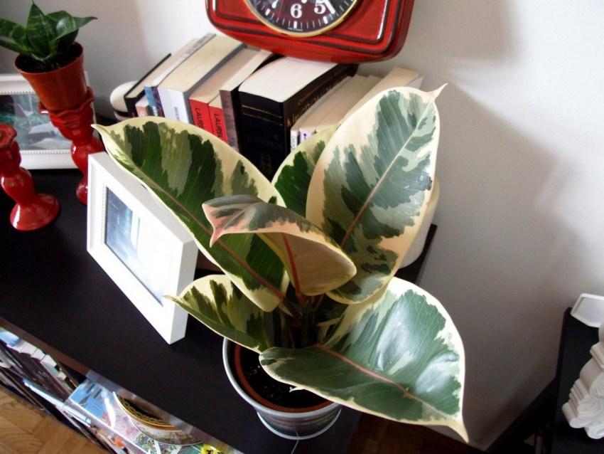 Фикус каучуконосный: советы по посадке и уходу. 115 фото применения в интерьере и видео выращивания в домашних условиях