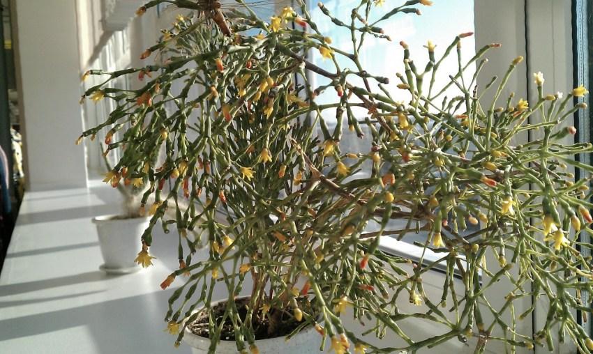 Хатиора – утончённый кактус. Уход в домашних условиях
