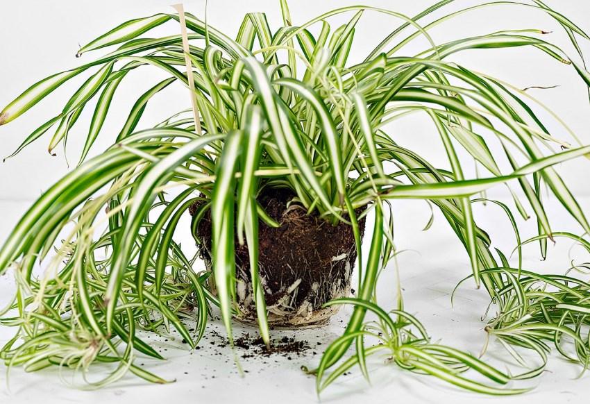 хлорофитум фото условия роста другом поле противник