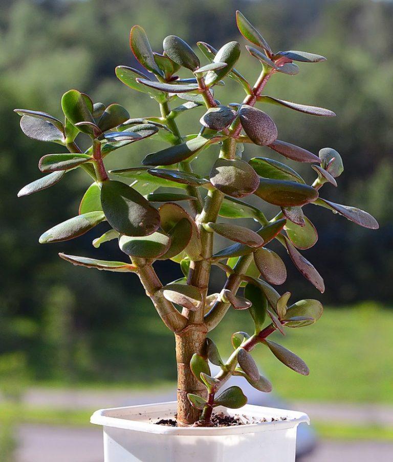 Картинка растения толстянка