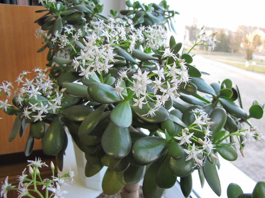 Как вырастить денежное дерево из листочка и черенка в домашних условиях, как развести и вырастить бонсай с толстым стволом