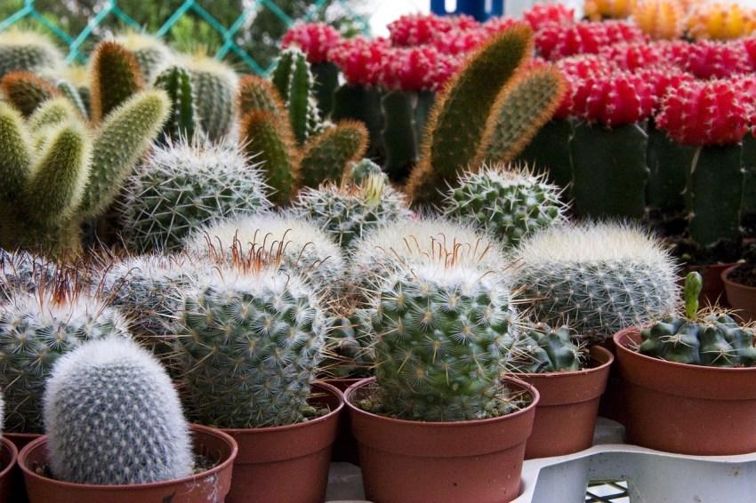 Как ухаживать за кактусами в домашних условиях полив и пересадка