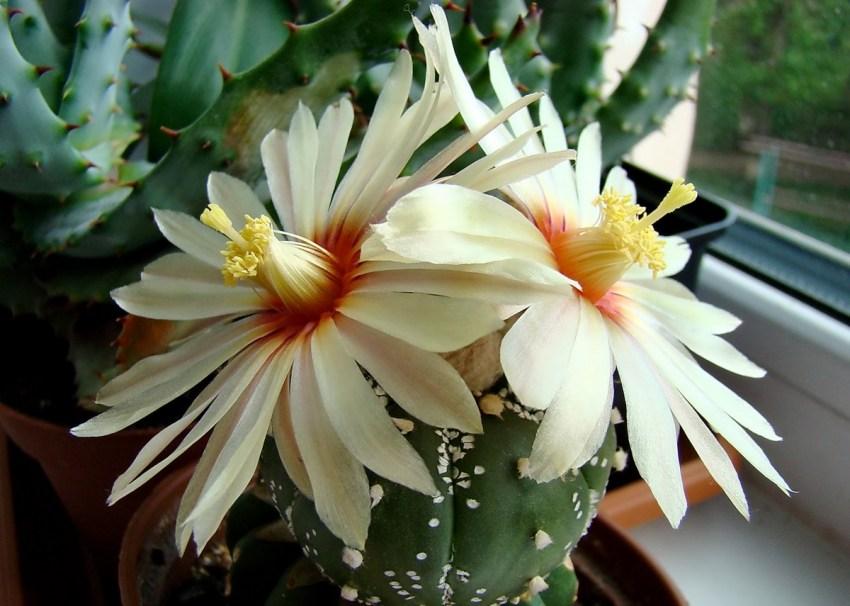 как зацветает кактус фото том
