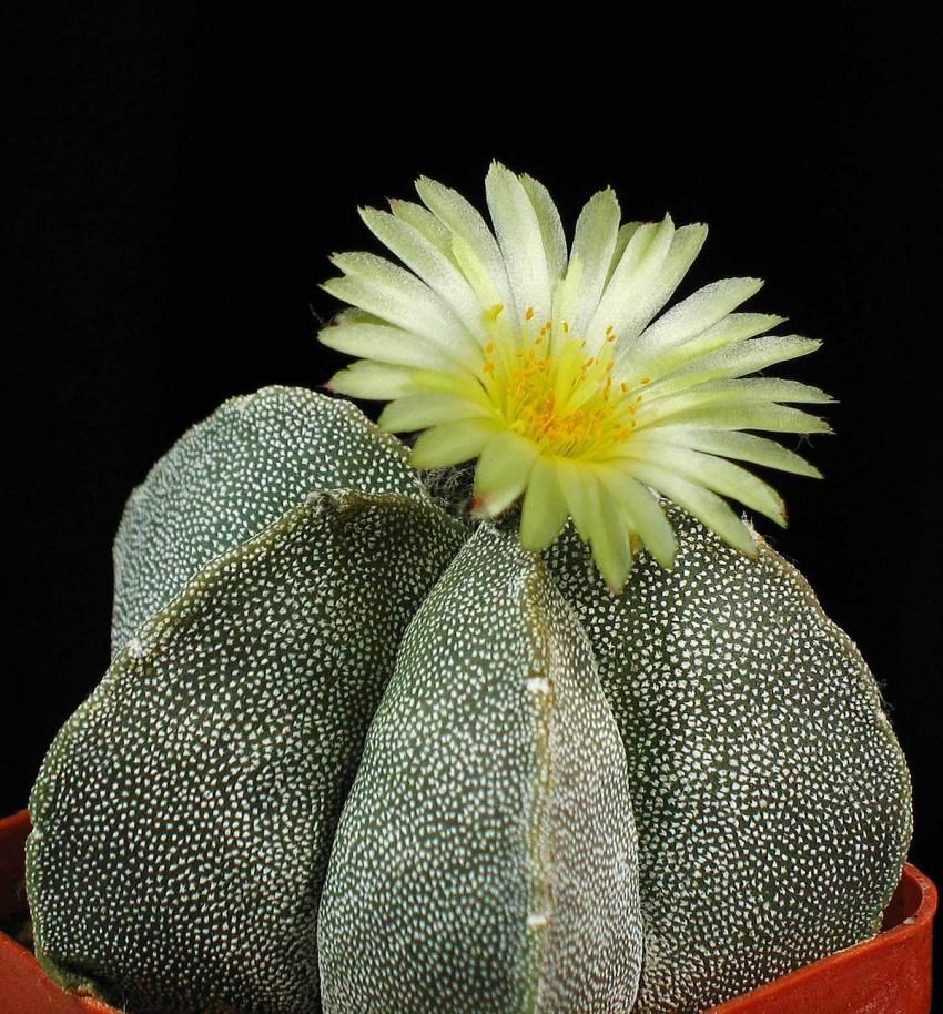 Как узнать цветущий кактус или нет