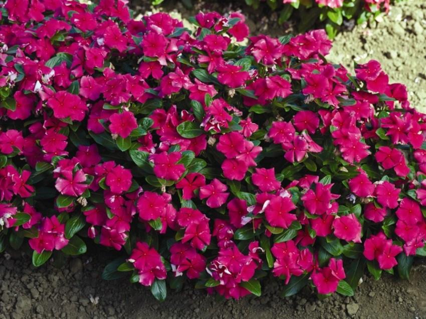 катарантус цветок комнатный посев семенами