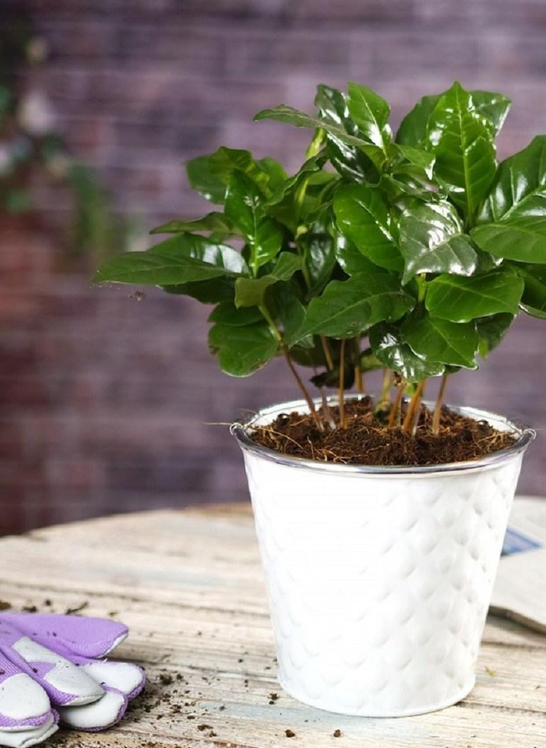 Как в домашних условиях выращивать кофе арабика?
