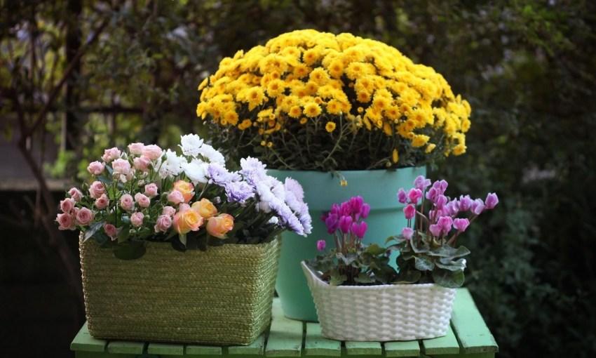 Хризантема в горшке: как ухаживать за хризантемами в домашних условиях