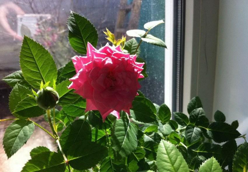 сюда разновидности комнатных роз фото наливные