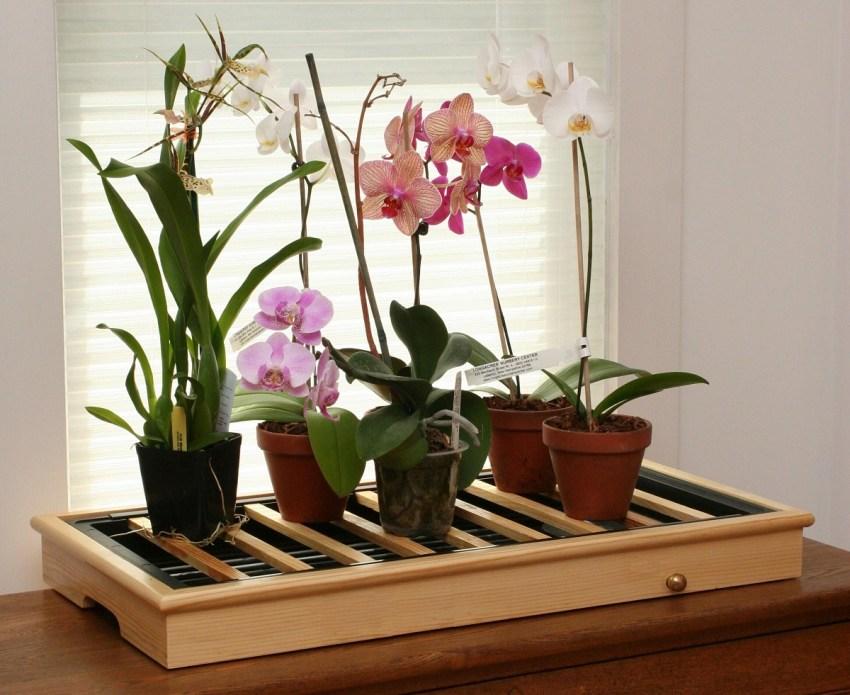 На цветоносе орхидеи растут листья что делать