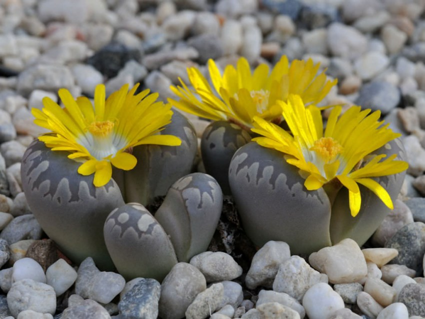 Живые камни виды