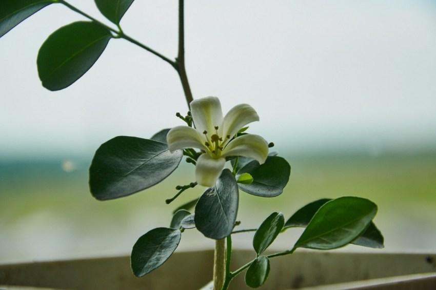 Цветок муррайя