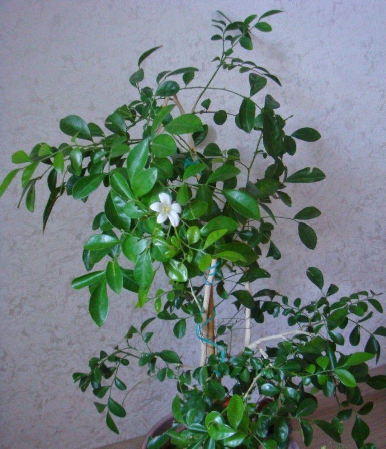 чайное дерево фото домашний