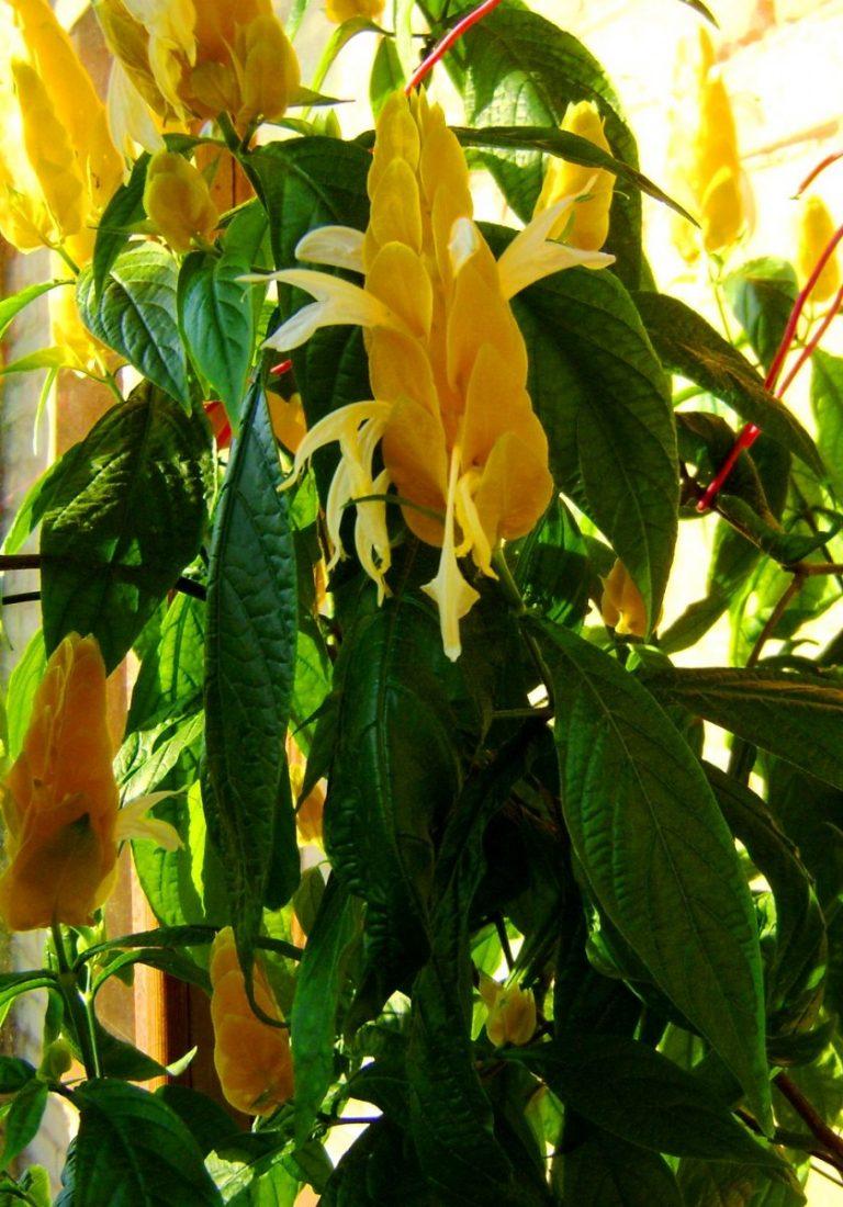 Цветок пахистахис картинки