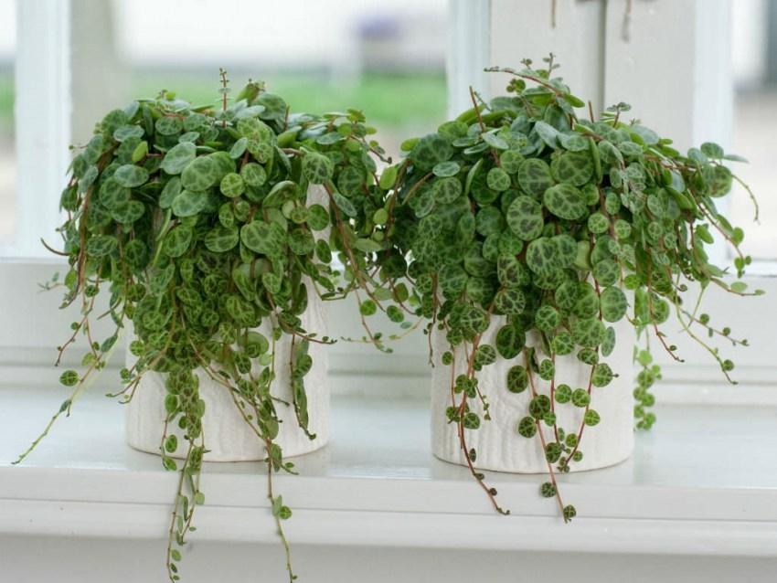Пеперомия – уход и размножение растения в домашних условиях
