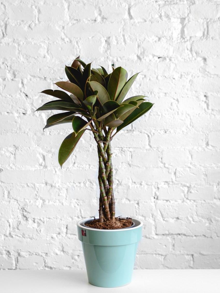 Фикус (73 фото): что это такое{q} Как выглядит комнатный цветок{q} Уход за растением в домашних условиях. Ядовитый ли он{q}