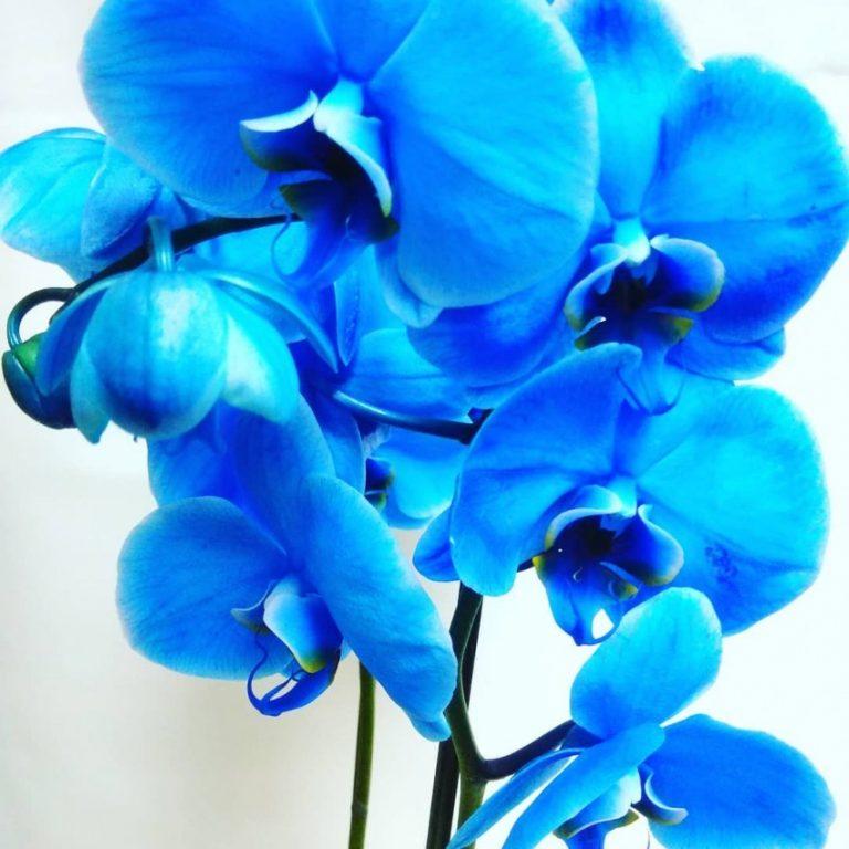 Картинки голубая орхидея