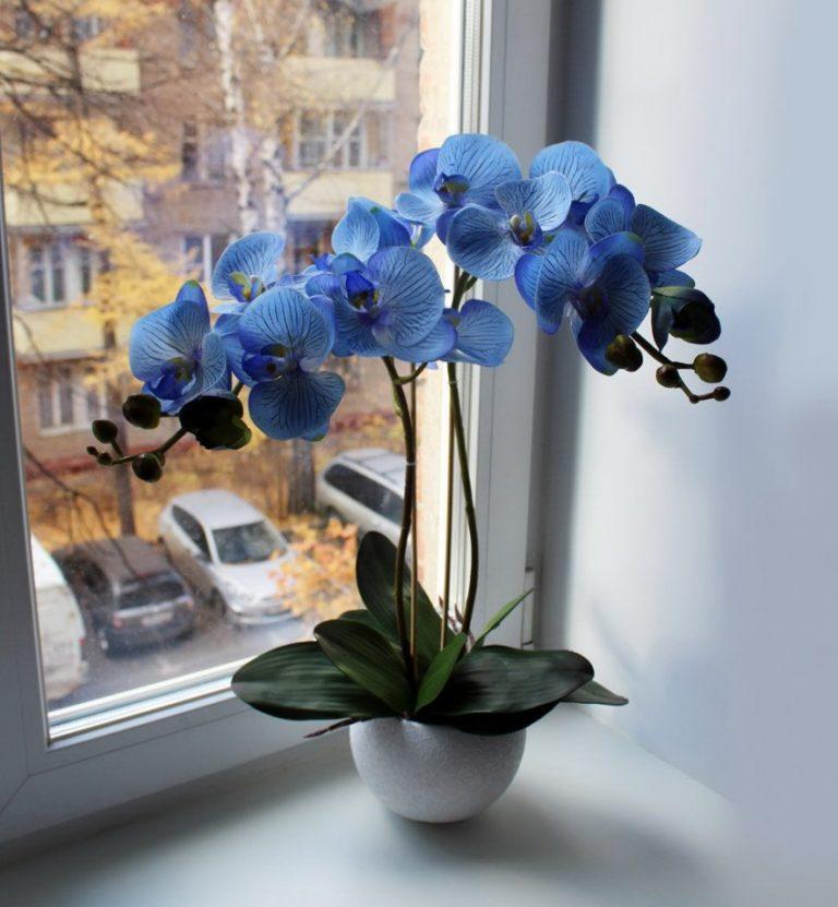 фото орхидеи фаленопсис голубая необщительные