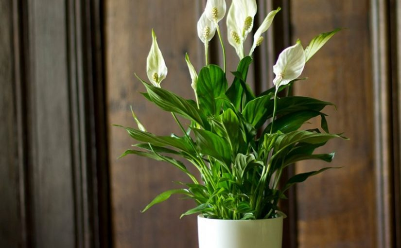 Спатифиллум: как правильно выбрать здоровый цветок и секреты его  выращивания (115 фото)