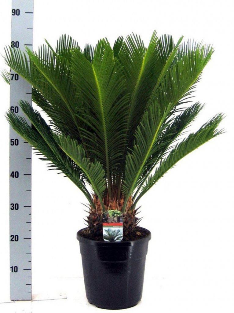 вниманию отборная пальмы фото и названия комнатные цвет