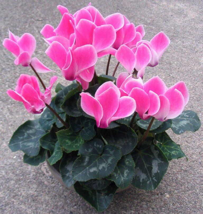 цикламена фото цветка гранит