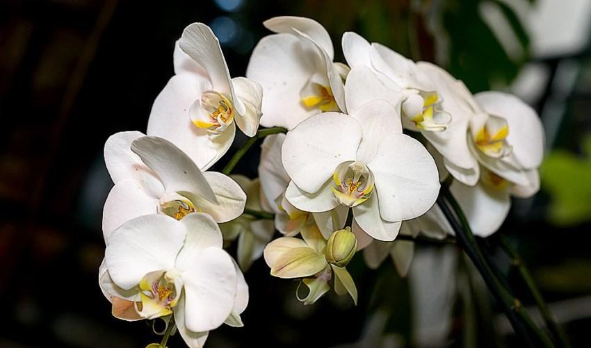 Как узнать что орхидея будет цвести