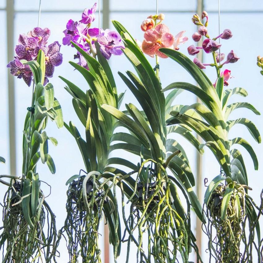 Почему сохнут корни у орхидеи и как это исправить
