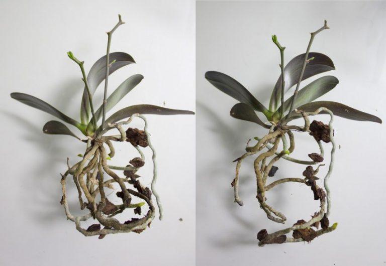 корни фаленопсиса фото может произойти