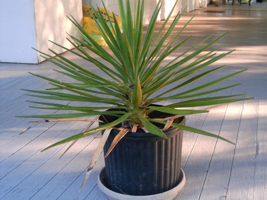 Юки растение