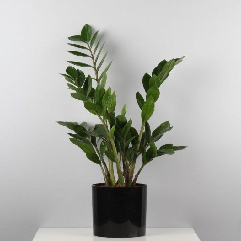 запросу новогодний неприхотливые домашние растения фото и названия нем