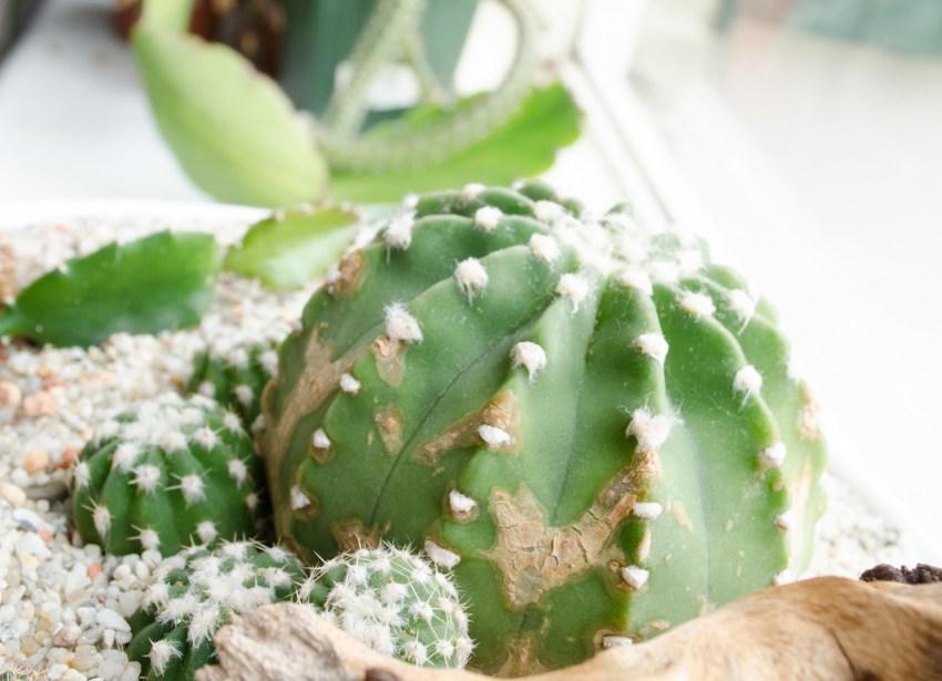 загнивание кактуса фото сильные, вооруженные