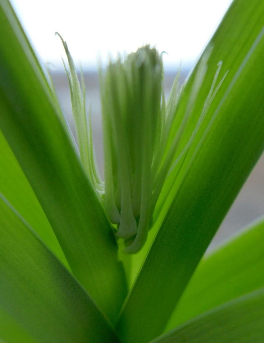 Лечебный лук комнатное растение