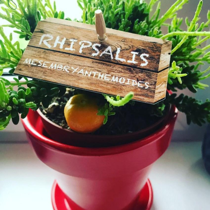 Рипсалис – уход в домашних условиях