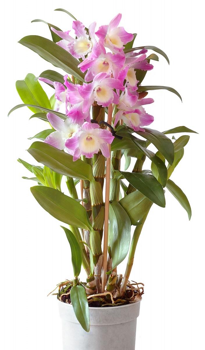 Описание самых распространенных видов комнатных орхидей
