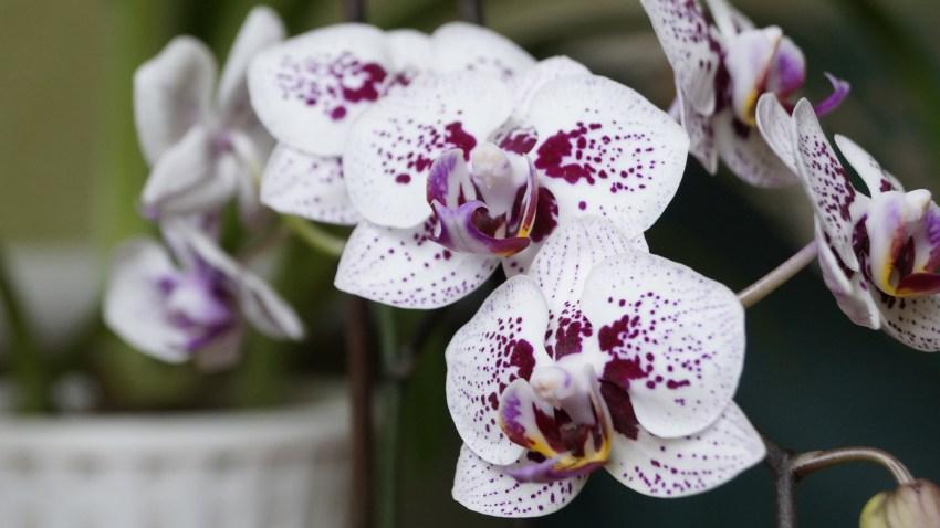 виды орхидей фото и названия персы
