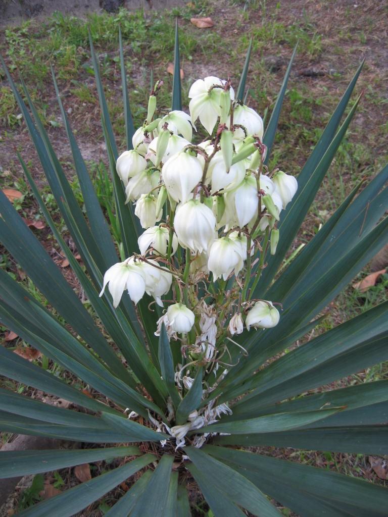 цветы юкка фото уход посадка гамильтона